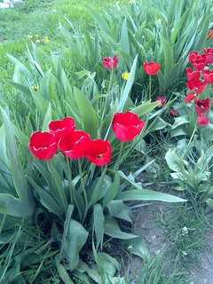 FOTKA - Moje tulipány