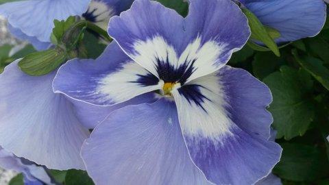 FOTKA - něžně modrá maceška
