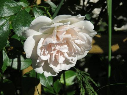 FOTKA - ,,,bílá růžička.,