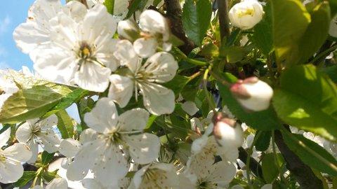 FOTKA - kvítky jabloní ve dne