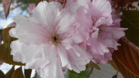FOTKA - dva růžové jarní kvítky