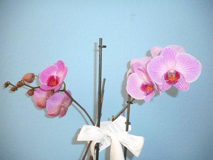 FOTKA - Dva výhonky orchidejí