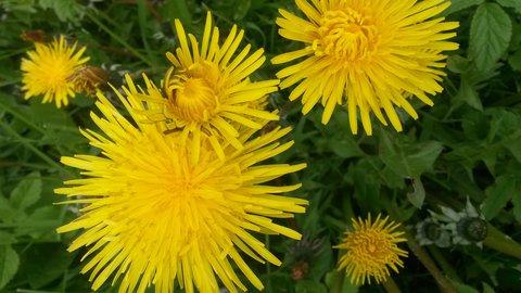 FOTKA - jejich žlutá jarní krása už dávno odkvetla