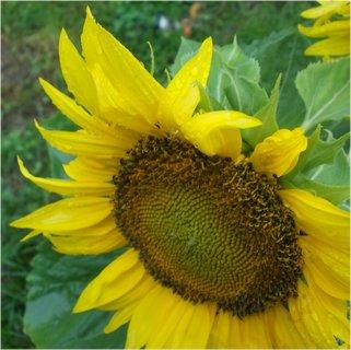 FOTKA - promáčený květ