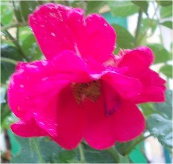 FOTKA - moc promáčený květ
