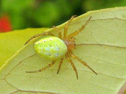 FOTKA -  žlutozelený pavouček přistižený na citroníku