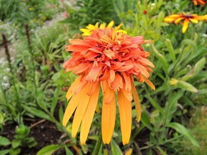 FOTKA - květ jedinečné Echinacei-třapatky