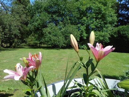 FOTKA - Krásně kvete další lilie královská
