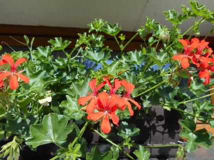 FOTKA - Pelargonie pnoucí na okenních parapetech