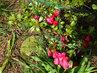 Azalka na skalce málo kvetla