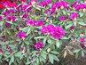 Rododendron  fialový kvetl také hodně