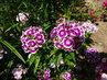 Květy čínského karafiátu