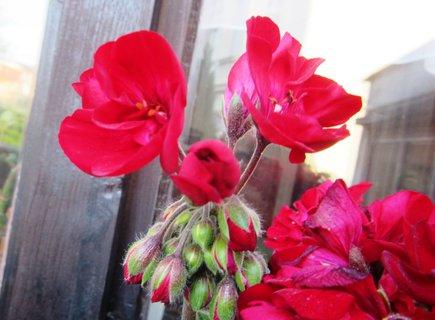 FOTKA - Muškát na okně