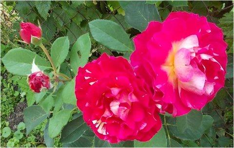 FOTKA - 2+2 květy a poupata