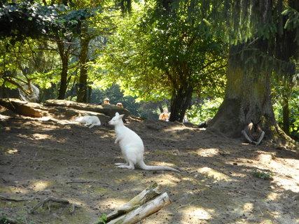 FOTKA - Bílý klokánek