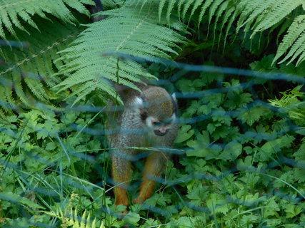 FOTKA - Opička u kapradiny