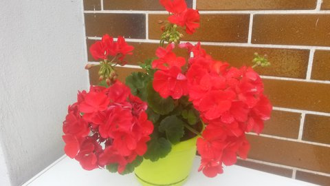 FOTKA - letos mi krásně kvetou