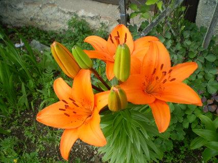 FOTKA - Oranžová lilie kvetla na chalupě
