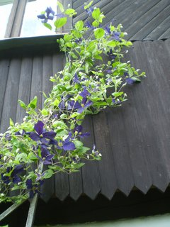 FOTKA - Modrý plamének