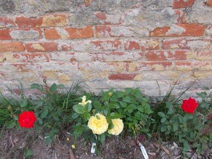FOTKA - žluté a červené růžičky