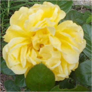 FOTKA - žlutá jsem růžička