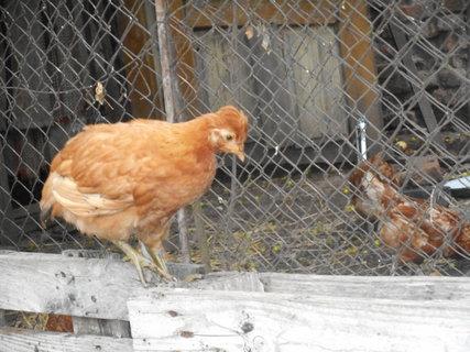 FOTKA - kuře pankáč