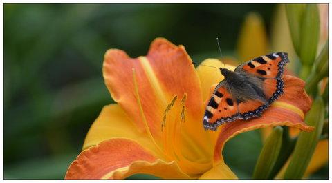 FOTKA - babočka kopřivová si sedala na oranžové květy
