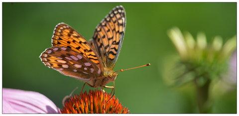 FOTKA - echinacea motýly vždycky přiláká