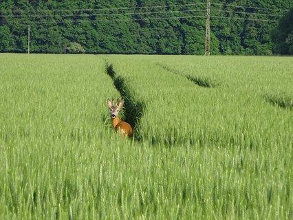 FOTKA - Srneček v zeleném obilí