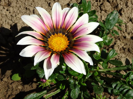 FOTKA - Růžovo-bílá gazánie