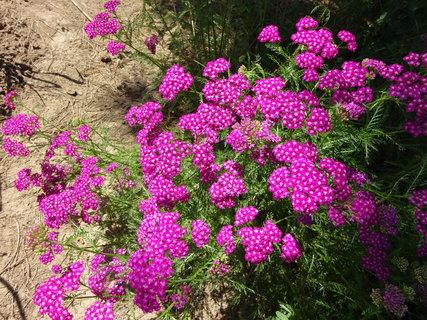 FOTKA - Růžový řebříček v plné kráse