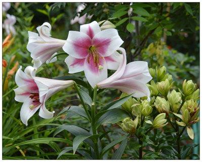 FOTKA - v záhonu lilií