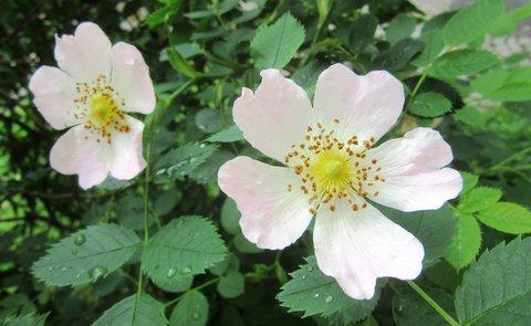 FOTKA - červnové růžičky