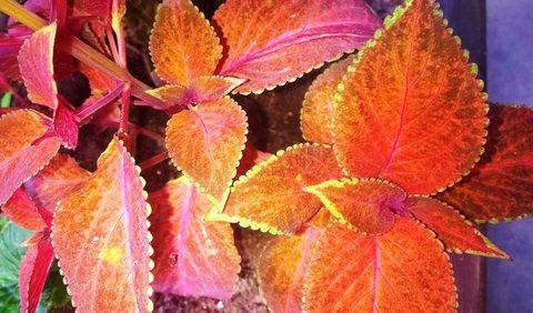 FOTKA - barevná kopřiva