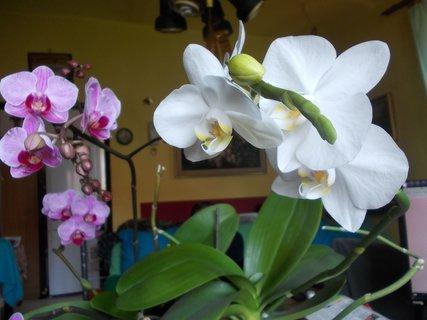 FOTKA - bílé a růžové květy
