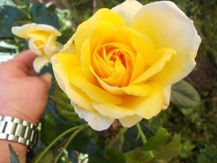 FOTKA - dvě žluté krásné