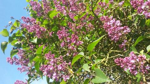 FOTKA - kvetoucí větev šeříku