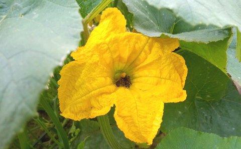 FOTKA - pěkný květ dýně