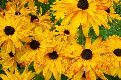 FOTKA - bohatě kvetou - rudbekie