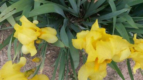 FOTKA - vzpomínka na žluté kosatce