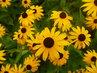 foto z procházky..žluté květy