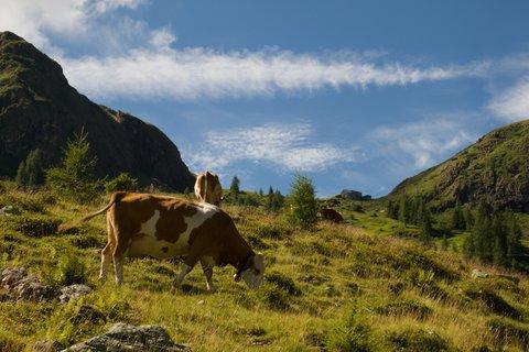 FOTKA - Výšlap k Wildseelodersee - Krávy