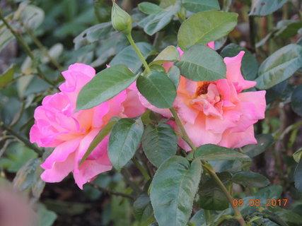 FOTKA - Růže 8.8.
