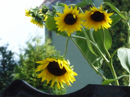 FOTKA - Sousedovy zvědavé slunečnice