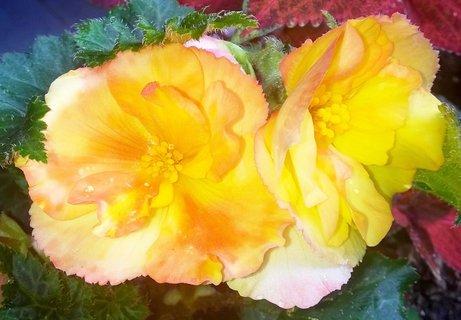 FOTKA - květy begonie