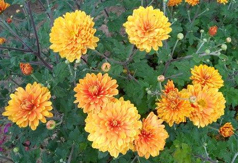 FOTKA - rozkvétající medové chryzantémy
