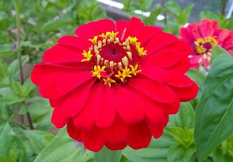 FOTKA - detail květu červené cínie