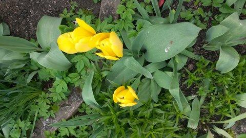 FOTKA - jarní tulipány