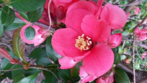 FOTKA - růžově kvetoucí-jaro