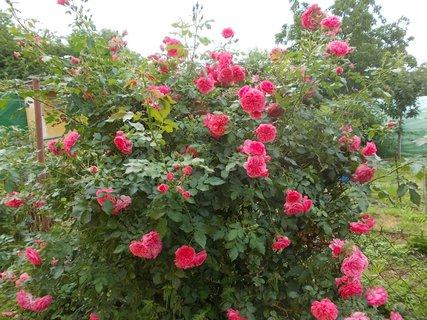 FOTKA - květy z druhé strany keře